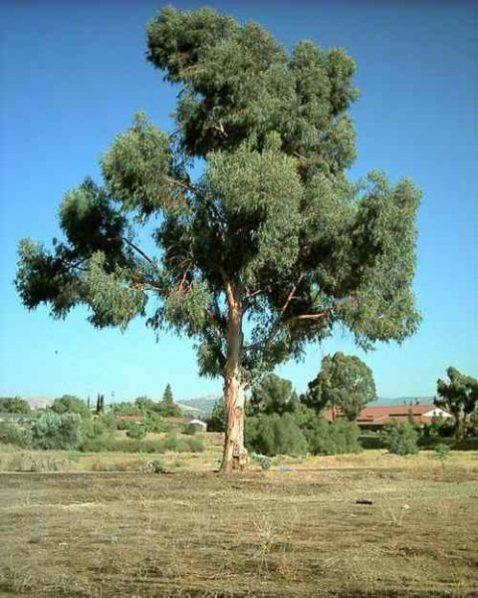 eucaliptus tree