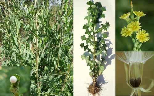 wild opium lettuce