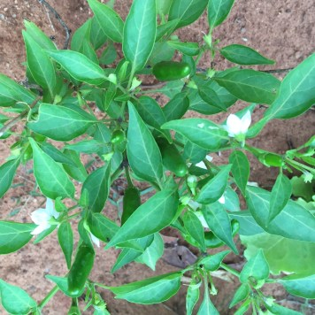 Chilli tree