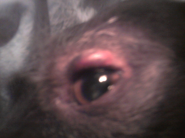 Dog Has Swelling Under Eye