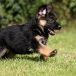 Cute German Shepherd Puppy Wallpaper