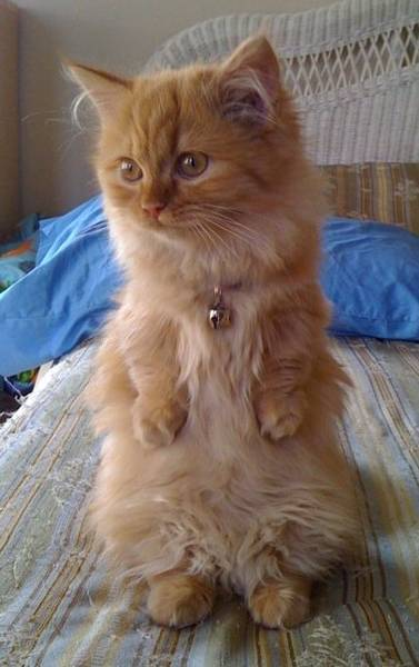 31 Most Beautiful Munchkin Cat Pictures And Photos