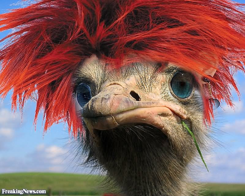 Funny Ostrich With Red Hair