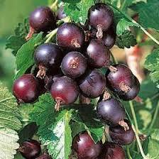 jostaberry