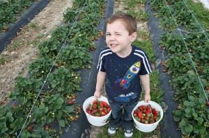 Strawberry Picking TX