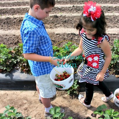Strawberry Picking at Froberg's Farm 2015