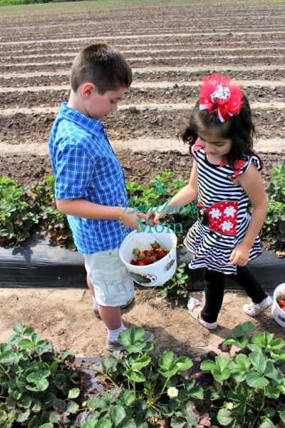 strawberry picking houston