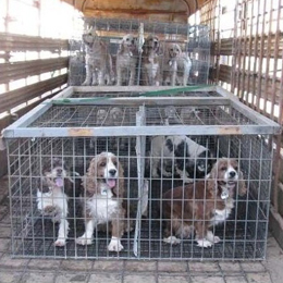 Puppy mill puppies in small cages on back of a truck bed all packed in
