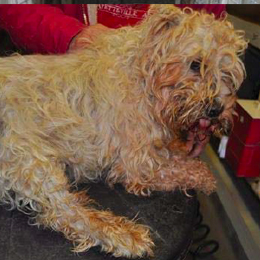 Adult Westie covered in blood that the puppy mill owners don't care about.