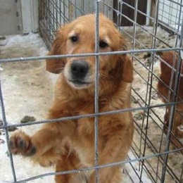 Lab adult in a cage full of waste at a puppy mill.