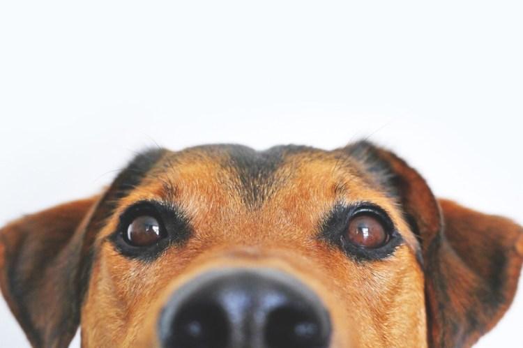 """Résultat de recherche d'images pour """"pink-eye-in-dogs"""""""