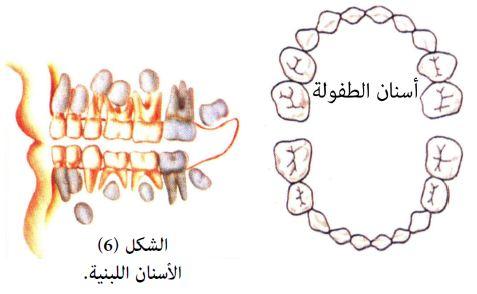 نبذة تعريفية عامة حول الأسنان اللبنية والدائمة