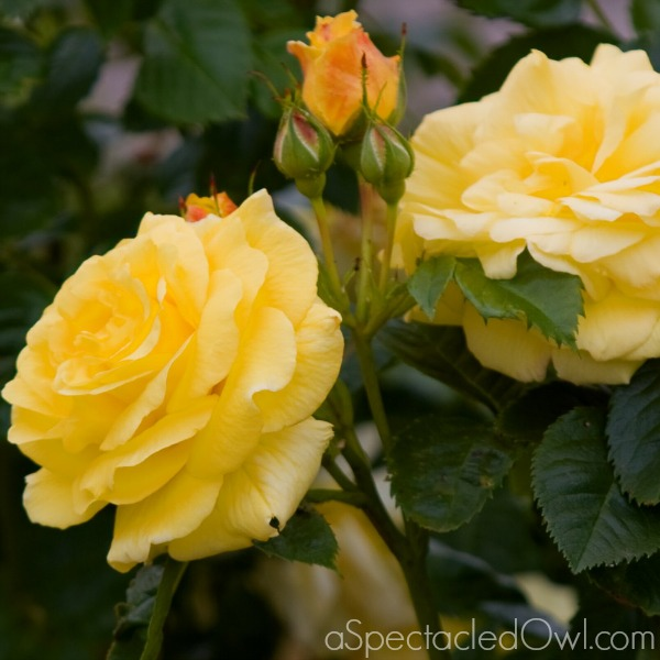Simple Tips for Caring for Your Roses