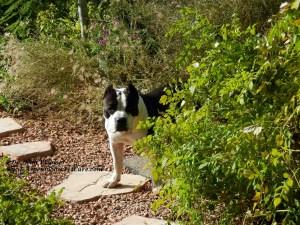 American Bully dog in backyard garden