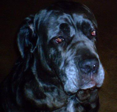 Neo Mastiff in deep thought