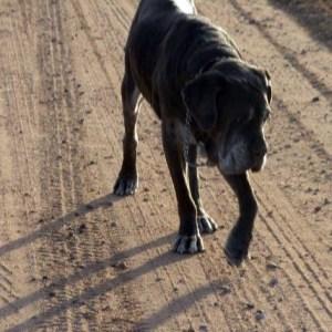 Neo Mastiff walking down a dirt road