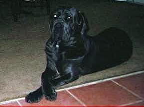 elegant Neo Mastiff puppy