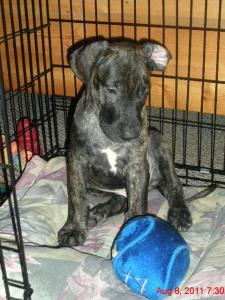 Great Dane puppy in crate with his ball