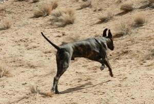 Dane chasing a frisbee