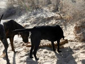 Dogs discovery skeleton in desert