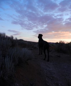 Great Dane in silhouette