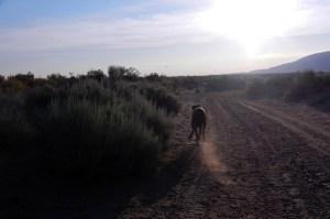 Great Dane running a zoomie
