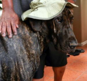 Great Dane wearing a hat