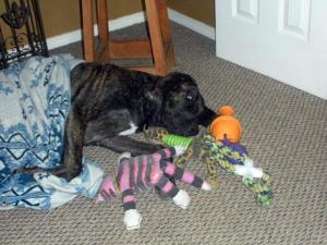 Dane puppy with blanket and toys