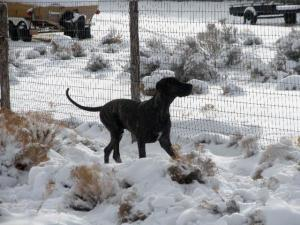 Great Dane running in the snow