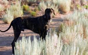 Great Dane in desert field