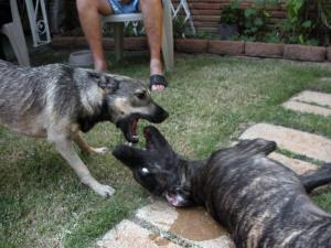 Great Dane pup and Elkhound Mix pup playing