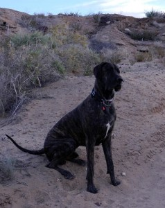 Dane puppy sitting with a head tilt in the arroyo