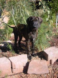Great Dane puppy in a garden