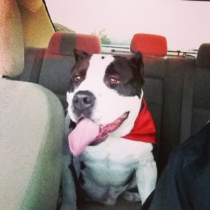 American Bully dog in car