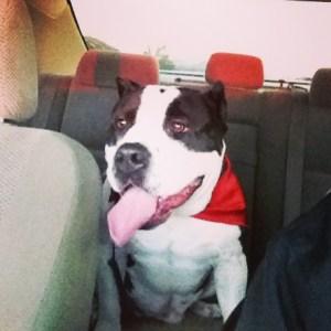 American Bully dog in car