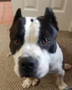 American Bully dog staring at human