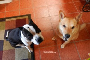 American Bully dog and Carolina Dog