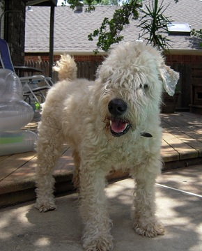 Duffy the Wheaten Terrier mix