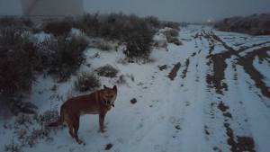 Carolina Dog on cold foggy morning