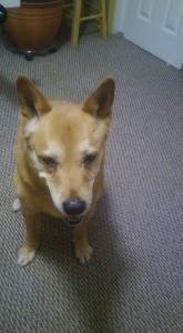 Schatzie my Carolina Dog