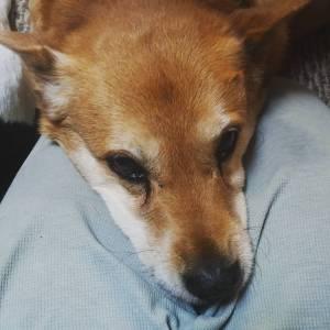 Carolina Dog with head in lap of human