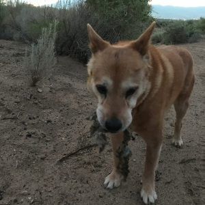 Carolina Dog scavenging coyote leftovers