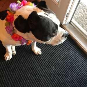 American Bully dog wearing a lei