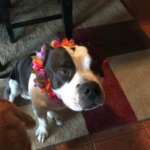 American Bully with his Hawaiian lei