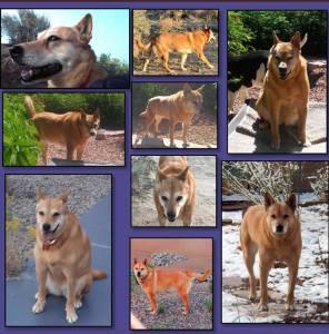 Our beautiful Carolina Dog
