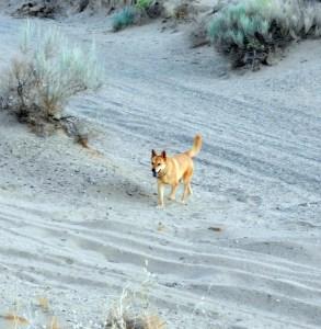 Carolina Dog or Canaan Dog