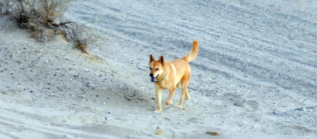 Canaan Dog or Carolina Dog?