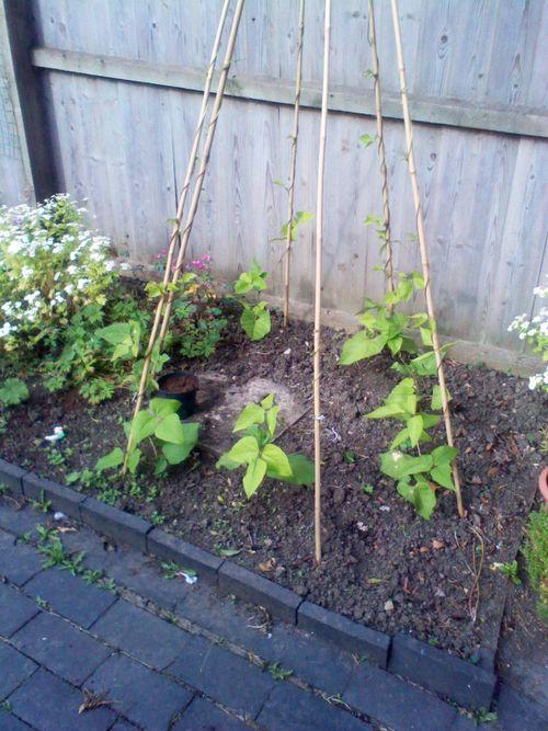 Runner beans growing in the garden
