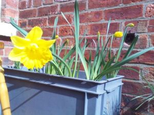 Potted daffodils in bloom spring flowers
