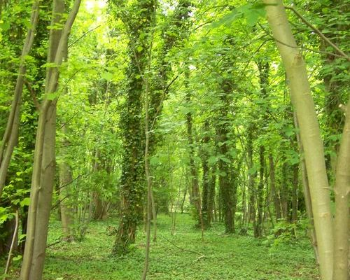 Woodland image - tall trees and lots of green colours